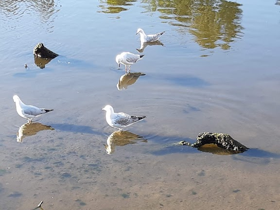 seagull looking at reflection Mordi.jpg
