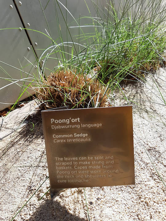 common sedge.jpg