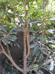 sweet pittosporum image