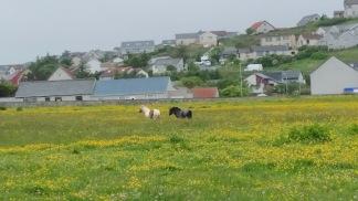 shetland ponies in field