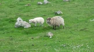 shetland sheep and lambs