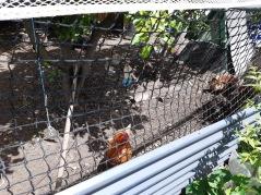 hen coop 3