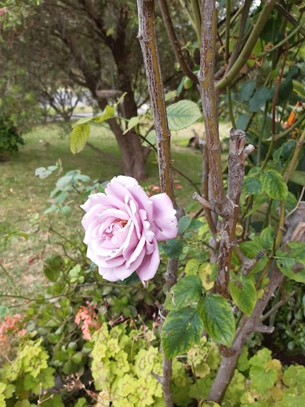 blue moon rose.jpg