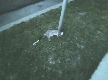 dead possum on nature strip
