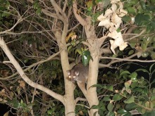 possum in tree 4
