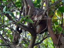 possum in tree hot day