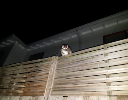 possum on fence extension