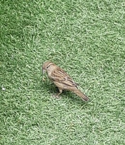 a very tiny sparrow