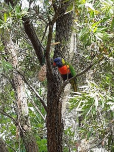lorikeet in vivd colour
