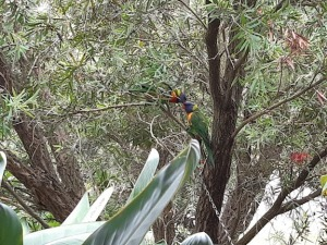 two lorikeets whispering