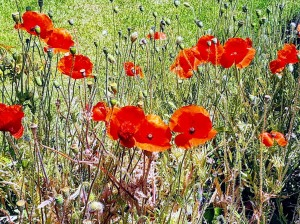 wild poppies in parkdale