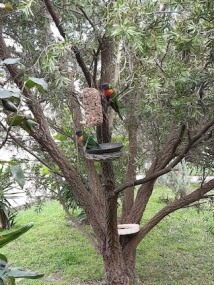 lorikeets new feed