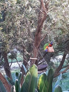 two lorikeets feeding