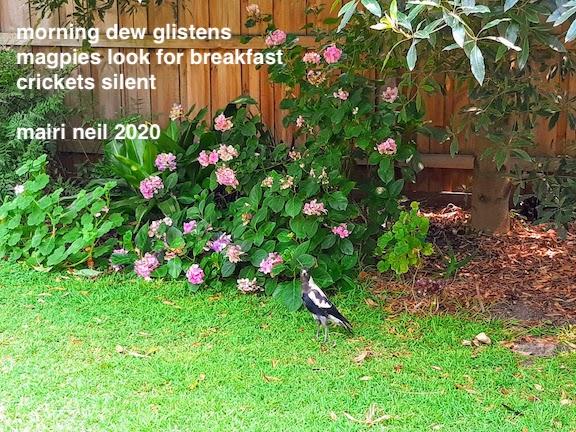 magpie in garden